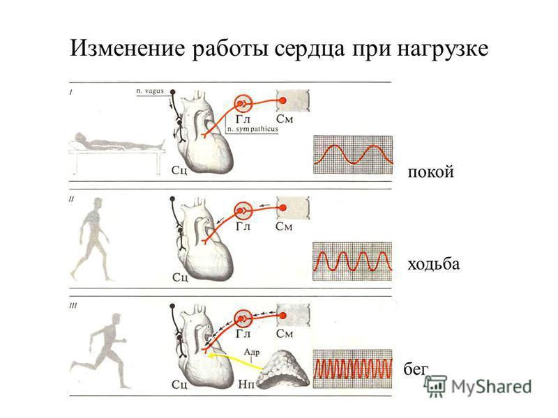 Изменение работы сердца при нагрузке покой бег ходьба