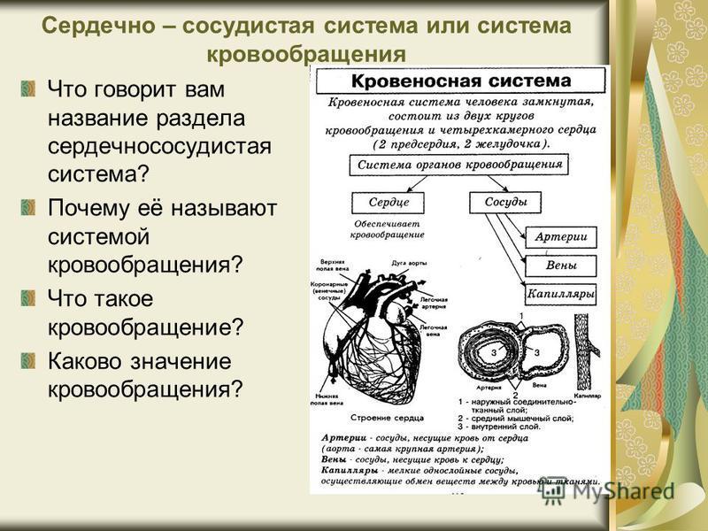 Сердечно – сосудистая система или система кровообращения Что говорит вам название раздела сердечно сосудистая система? Почему её называют системой кровообращения? Что такое кровообращение? Каково значение кровообращения?