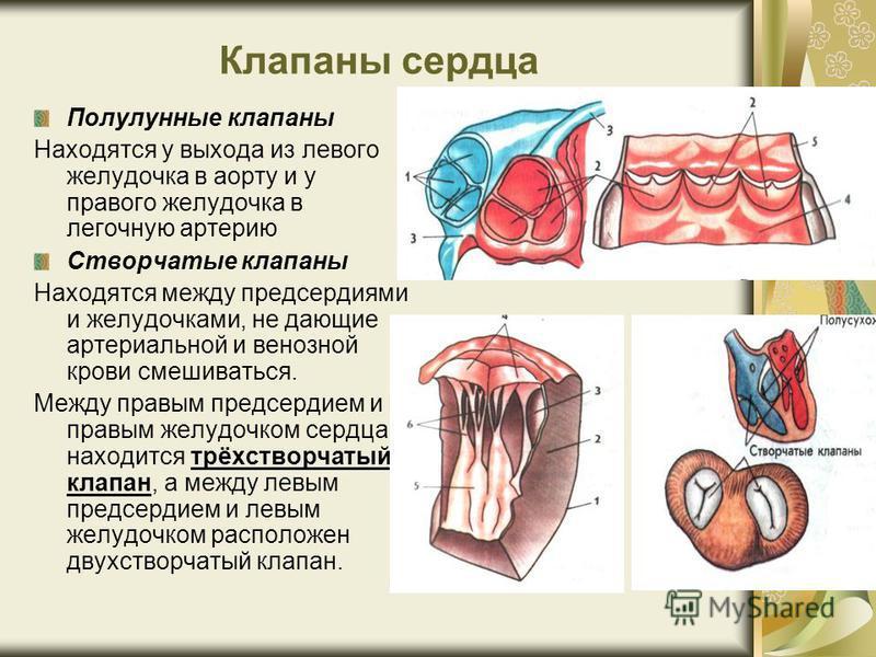 Клапаны сердца Полулунные клапаны Находятся у выхода из левого желудочка в аорту и у правого желудочка в легочную артерию Створчатые клапаны Находятся между предсердиями и желудочками, не дающие артериальной и венозной крови смешиваться. Между правым