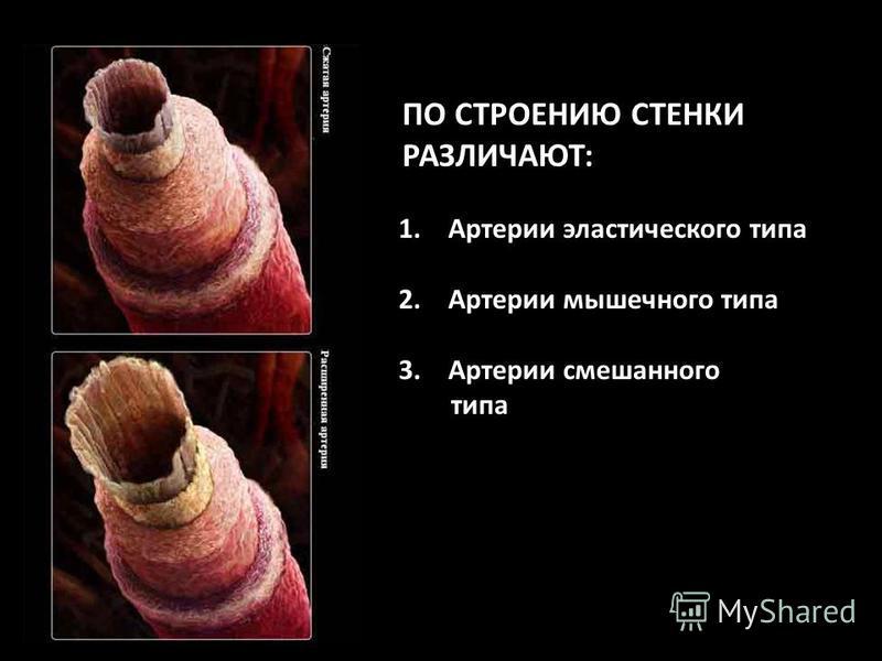 ПО СТРОЕНИЮ СТЕНКИ РАЗЛИЧАЮТ: 1. Артерии эластического типа 2. Артерии мышечного типа 3. Артерии смешанного типа