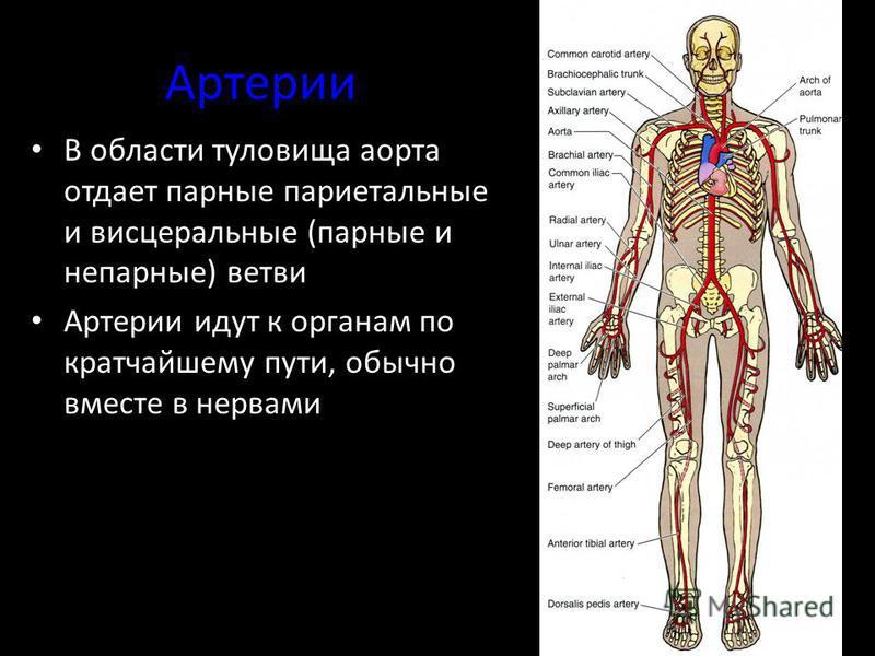 Артерии В области туловища аорта отдает парные париетальные и висцеральные (парные и непарные) ветви Артерии идут к органам по кратчайшему пути, обычно вместе в нервами
