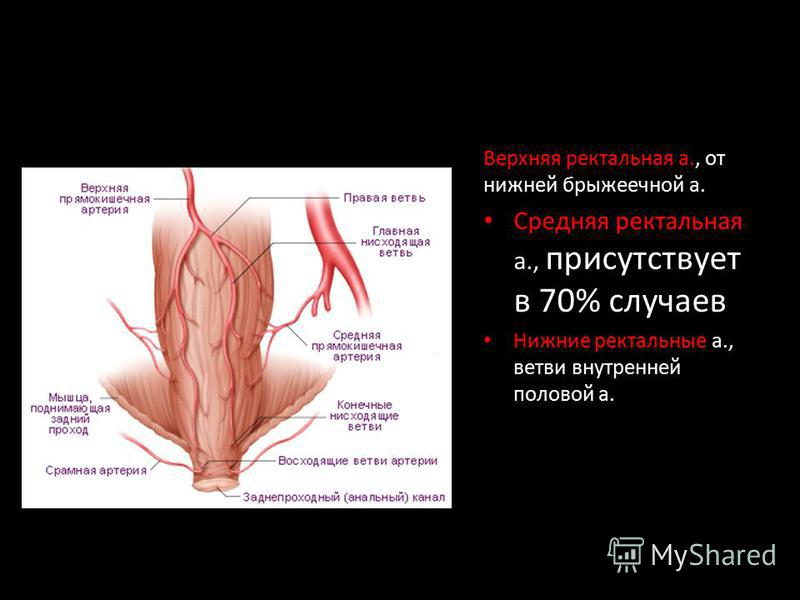 Верхняя ректальная а., от нижней брыжеечной а. Средняя ректальная а., присутствует в 70% случаев Нижние ректальные а., ветви внутренней половой а.