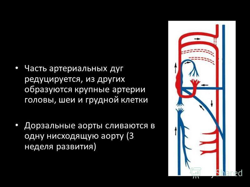 Часть артериальных дуг редуцируется, из других образуются крупные артерии головы, шеи и грудной клетки Дорзальные аорты сливаются в одну нисходящую аорту (3 неделя развития)