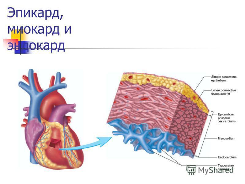 Эпикард, миокард и эндокард