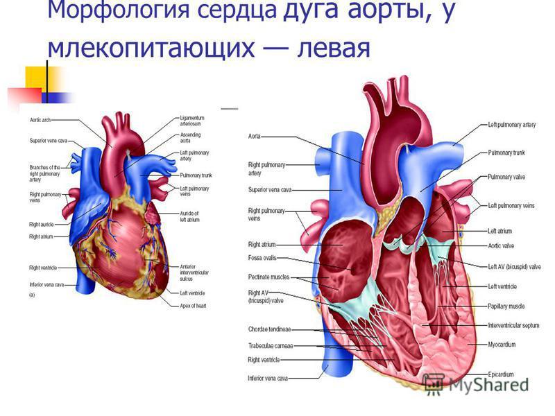 Морфология сердца дуга аорты, у млекопитающих левая