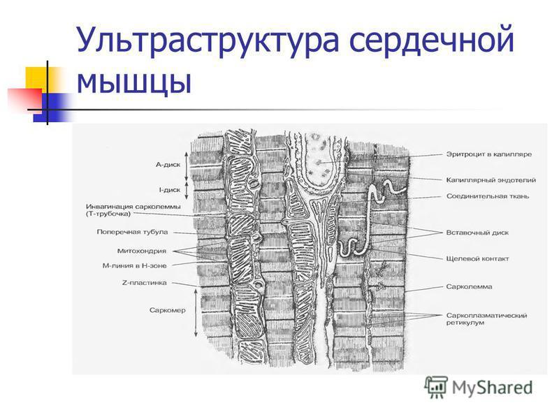 Ультраструктура сердечной мышцы