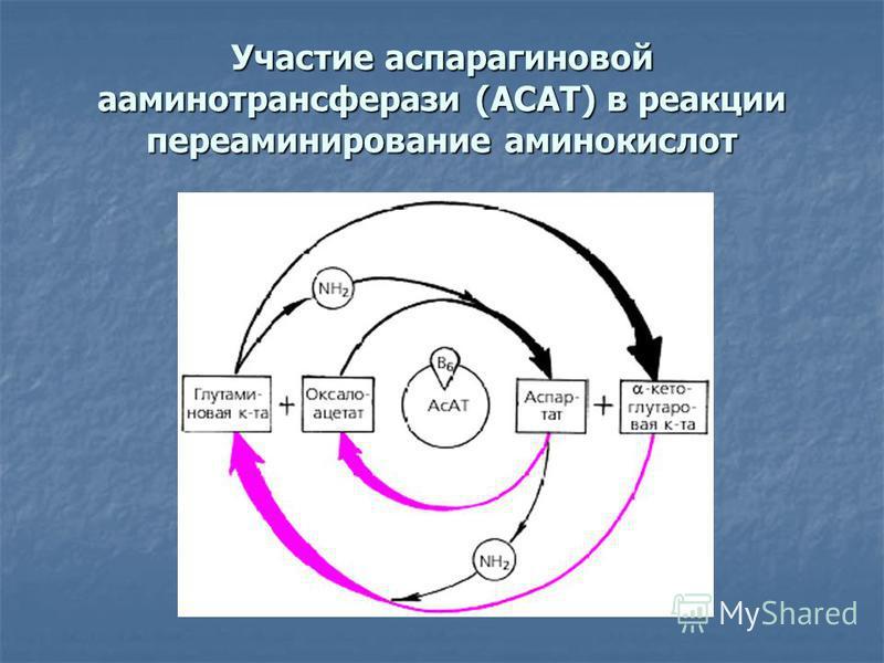 Участие аспарагиновой аминотрансферазы (АСАТ) в реакции переаминирование аминокислот