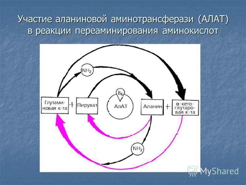 Участие аланиновой аминотрансферазы (АЛАТ) в реакции переаминирования аминокислот