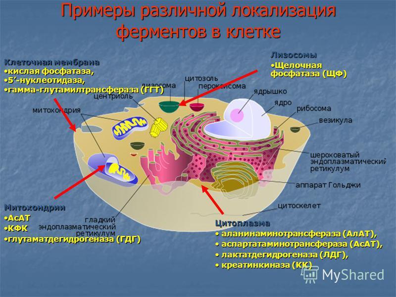 Примеры различной локализация ферментов в клетке Клеточная мембрана кислая фосфатаза,кислая фосфатаза, 5-нуклеотидаза,5-нуклеотидаза, гамма-глутамилтрансфераза (ГГТ)гамма-глутамилтрансфераза (ГГТ) Цитоплазма аланинаминотрансфераза (АлАТ), аланинамино
