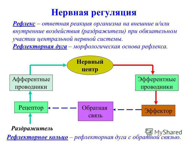Нервная регуляция Рефлекс – ответная реакция организма на внешние и/или внутренние воздействия (раздражители) при обязательном участии центральной нервной системы. Рефлекторная дуга – морфологическая основа рефлекса. Рефлекторное кольцо – рефлекторна