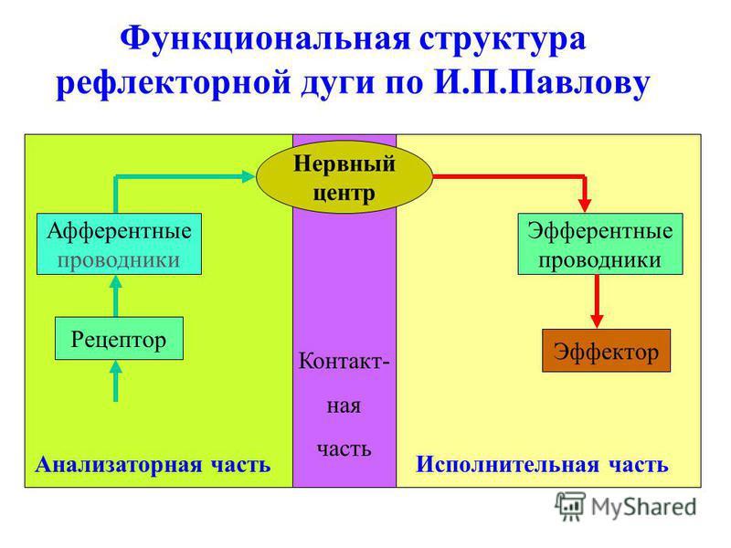 Функциональная структура рефлекторной дуги по И.П.Павлову Рецептор Афферентные проводники Нервный центр Эфферентные проводники Эффектор Анализаторная часть Контакт- ная часть Исполнительная часть
