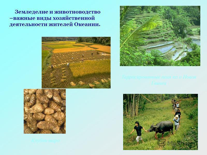 Клубни таро Террасированные поля на о Новая Гвинея Земледелие и животноводство –важные виды хозяйственной деятельности жителей Океании.