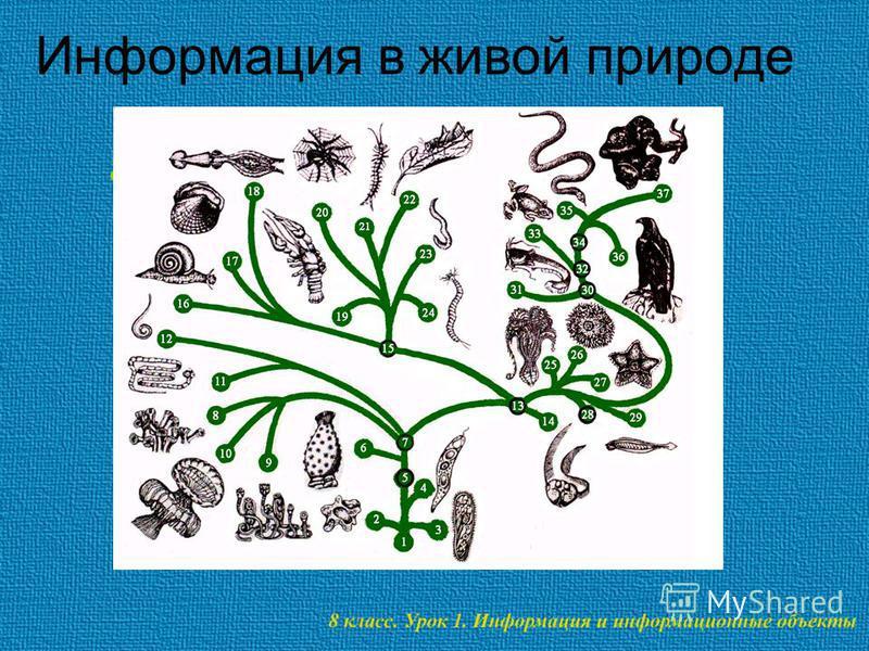 Информация в живой природе Информация как мера увеличения сложности живых организмов.