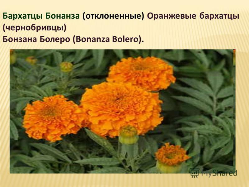 Бархатцы Бонанза (отклоненные) Оранжевые бархатцы (чернобривцы) Бонзана Болеро (Bonanza Bolero).
