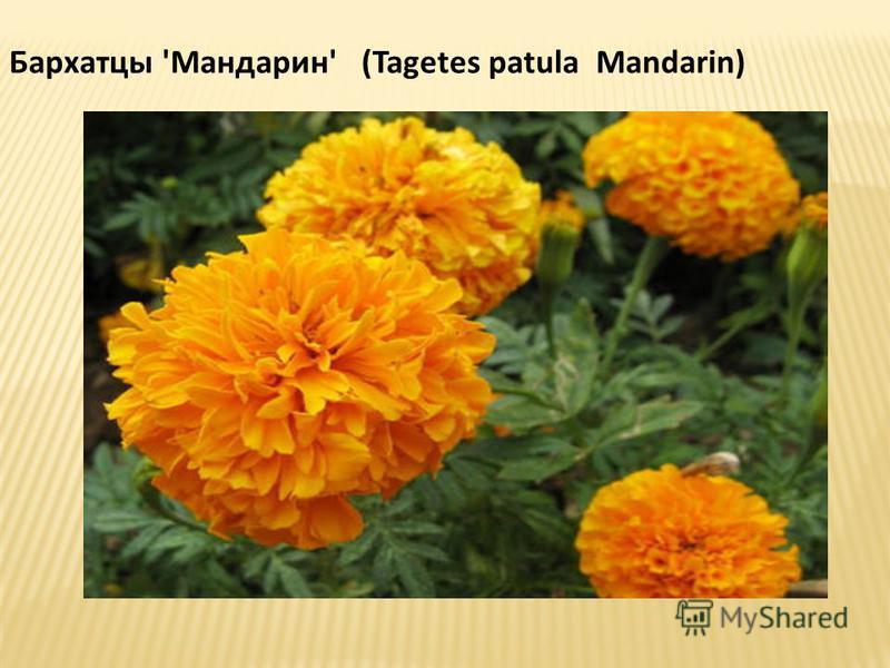 Бархатцы 'Мандарин' (Tagetes patula Mandarin)
