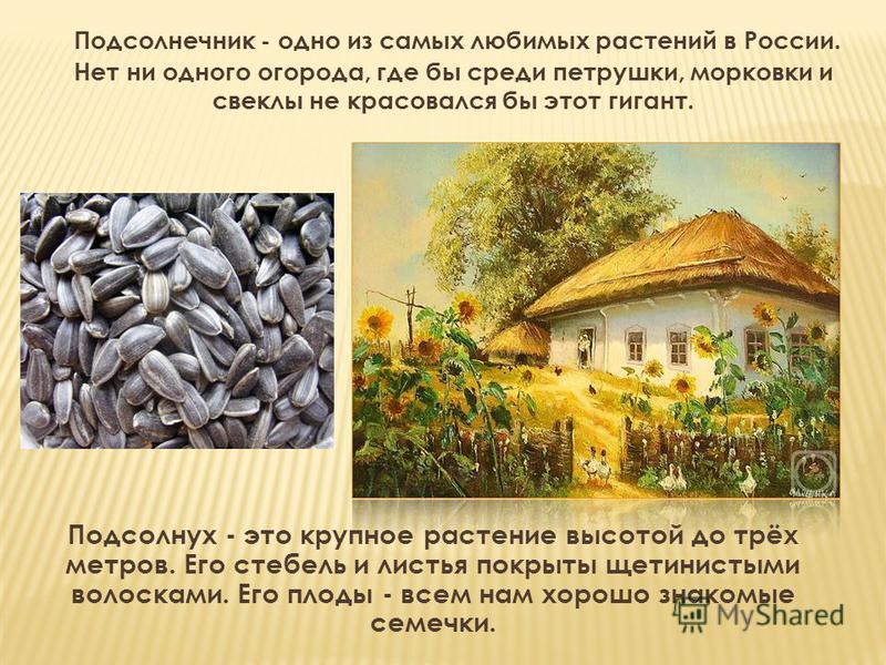 Подсолнечник - одно из самых любимых растений в России. Нет ни одного огорода, где бы среди петрушки, морковки и свеклы не красовался бы этот гигант. Подсолнух - это крупное растение высотой до трёх метров. Его стебель и листья покрыты щетинистыми во