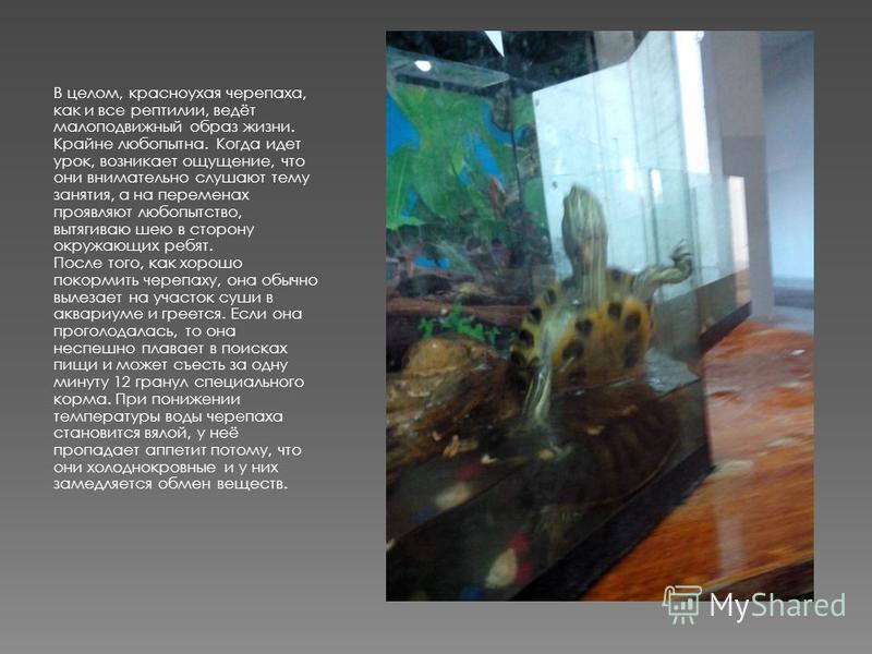 В целом, красноухая черепаха, как и все рептилии, ведёт малоподвижный образ жизни. Крайне любопытна. Когда идет урок, возникает ощущение, что они внимательно слушают тему занятия, а на переменах проявляют любопытство, вытягиваю шею в сторону окружающ