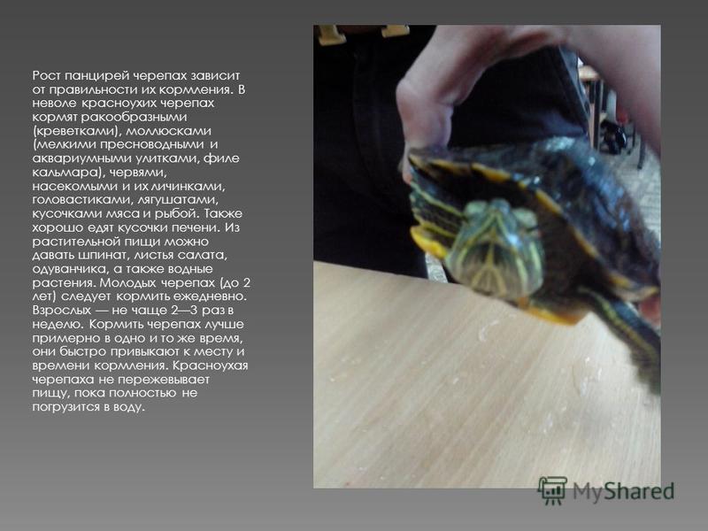 Рост панцирей черепах зависит от правильности их кормления. В неволе красноухих черепах кормят ракообразными (креветками), моллюсками (мелкими пресноводными и аквариумными улитками, филе кальмара), червями, насекомыми и их личинками, головастиками, л