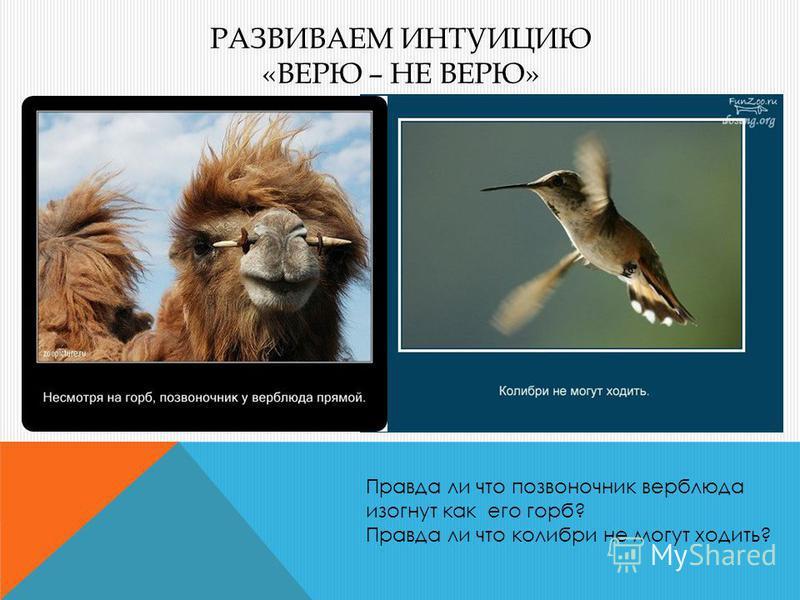 РАЗВИВАЕМ ИНТУИЦИЮ «ВЕРЮ – НЕ ВЕРЮ» Правда ли что позвоночник верблюда изогнут как его горб? Правда ли что колибри не могут ходить?