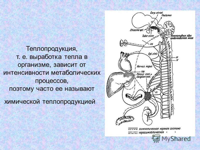 Теплопродукция, т. е. выработка тепла в организме, зависит от интенсивности метаболических процессов, поэтому часто ее называют химической теплопродукцией