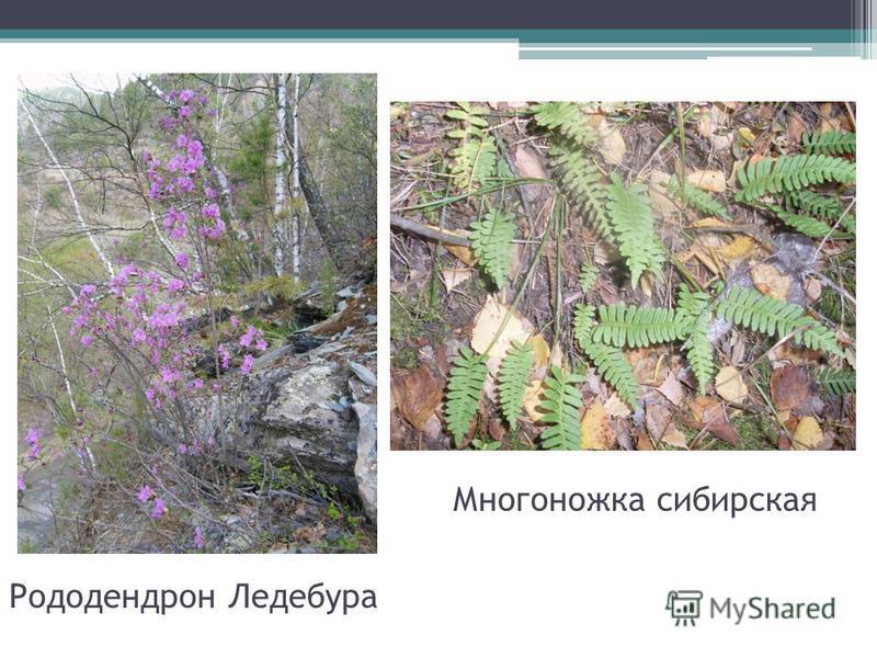 Рододендрон Ледебура Многоножка сибирская