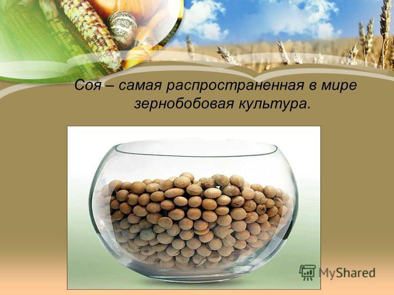 Соя – самая распространенная в мире зернобобовая культура.