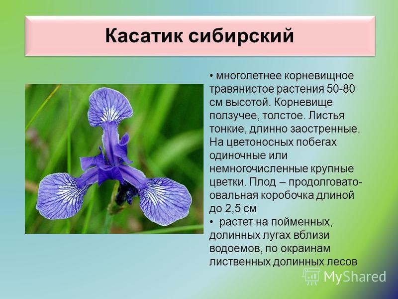 Касатик сибирский многолетнее корневищное травянистое растения 50-80 см высотой. Корневище ползучее, толстое. Листья тонкие, длинно заостренные. На цветоносных побегах одиночные или немногочисленные крупные цветки. Плод – продолговато- овальная короб