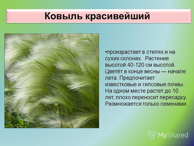 Ковыль красивейший произрастает в степях и на сухих склонах. Растение высотой 40-120 см высотой. Цветёт в конце весны начале лета. Предпочитает известковые и гипсовые почвы. На одном месте растет до 10 лет, плохо переносит пересадку. Размножается тол