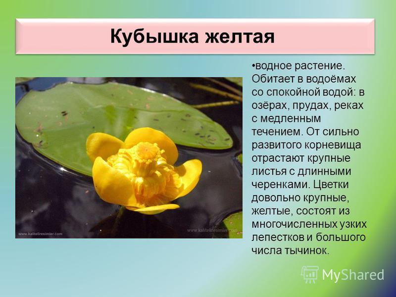 Кубышка желтая водное растение. Обитает в водоёмах со спокойной водой: в озёрах, прудах, реках с медленным течением. От сильно развитого корневища отрастают крупные листья с длинными черенками. Цветки довольно крупные, желтые, состоят из многочисленн