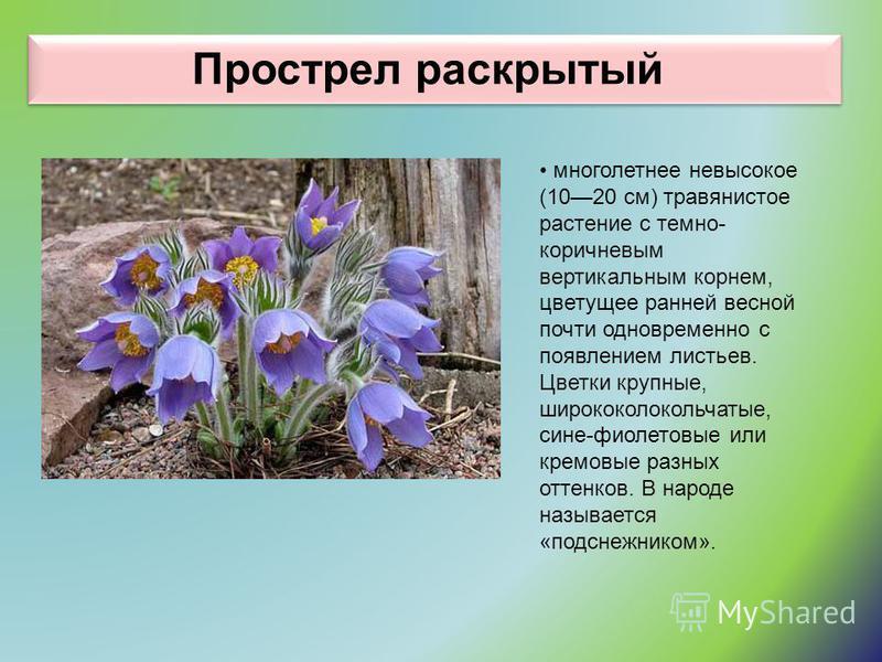 Прострел раскрытый многолетнее невысокое (1020 см) травянистое растение с темно- коричневым вертикальным корнем, цветущее ранней весной почти одновременно с появлением листьев. Цветки крупные, ширококолокольчатые, сине-фиолетовые или кремовые разных