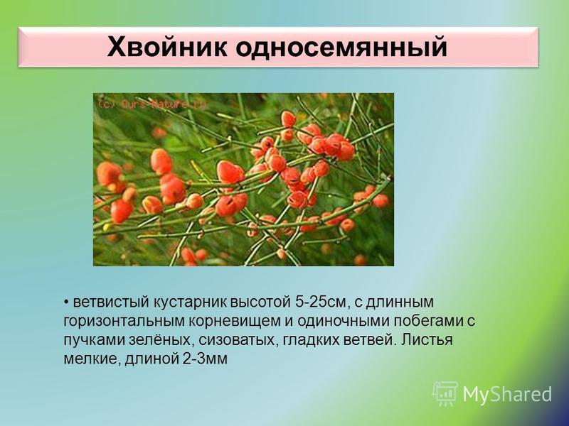 Хвойник односемянный ветвистый кустарник высотой 5-25 см, с длинным горизонтальным корневищем и одиночными побегами с пучками зелёных, сизоватых, гладких ветвей. Листья мелкие, длиной 2-3 мм