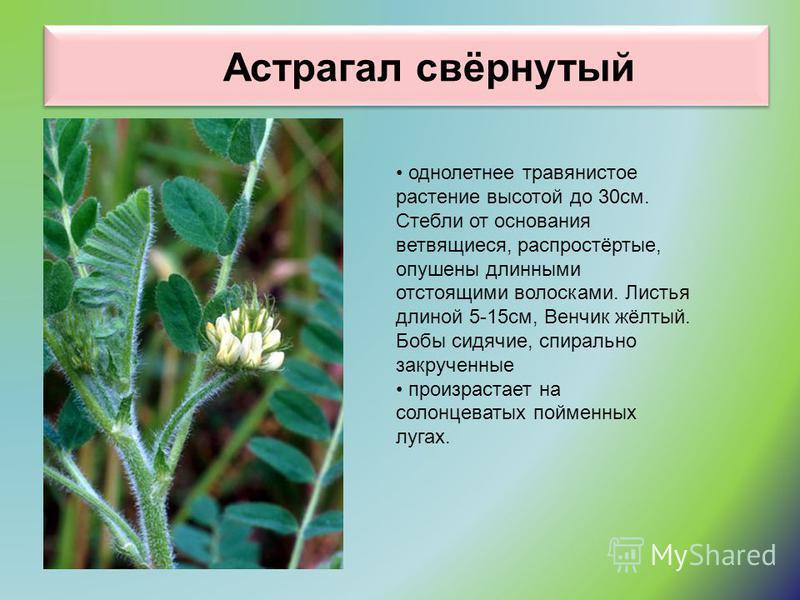 Астрагал свёрнутый однолетнее травянистое растение высотой до 30 см. Стебли от основания ветвящиеся, распростёртые, опушены длинными отстоящими волосками. Листья длиной 5-15 см, Венчик жёлтый. Бобы сидячие, спирально закрученные произрастает на солон