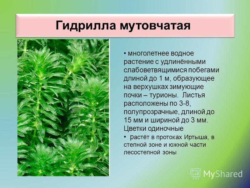 Гидрилла мутовчатая многолетнее водное растение с удлинёнными слабоветвящимися побегами длиной до 1 м, образующее на верхушках зимующие почки – турионы. Листья расположены по 3-8, полупрозрачные, длиной до 15 мм и шириной до 3 мм. Цветки одиночные ра