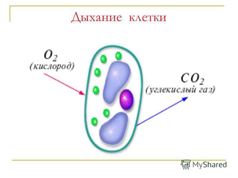 Дыхание клетки