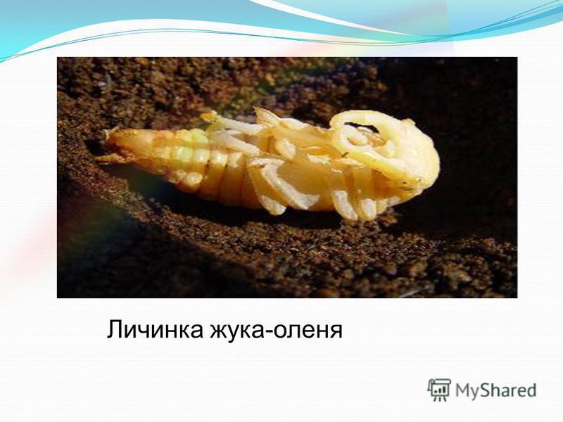 Личинка жука-оленя