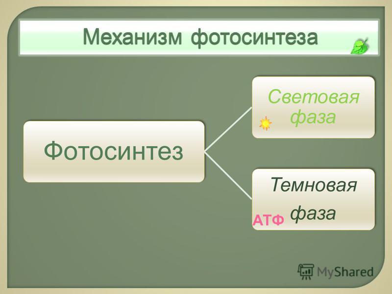 Фотосинтез Световая фаза Темновая фаза Механизм фотосинтеза АТФ