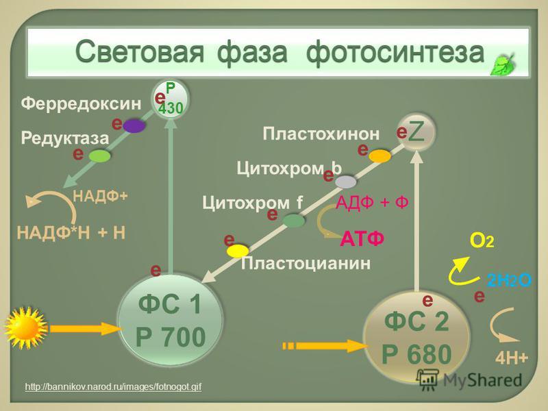 ФС 1 Р 700 ФС 2 Р 680 2Н 2 О О2О2 4Н+ Z Р 430 е Пластохинон Цитохром b АТФ АДФ + ФЦитохром f Пластоцианин Ферредоксин Редуктаза НАДФ*Н + Н НАДФ+ е Световая фаза фотосинтеза http://bannikov.narod.ru/images/fotnogot.gif е е е е е е е е е