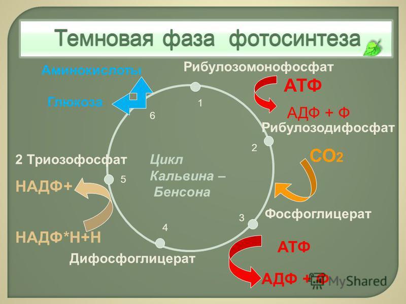 Рибулозодифосфат Фосфоглицерат Дифосфоглицерат 2 Триозофосфат Глюкоза Рибулозомонофосфат СО 2 АТФ НАДФ*Н+Н АДФ + Ф Аминокислоты 1 2 3 4 5 6 АТФ Цикл Кальвина – Бенсона АДФ + Ф НАДФ+ Темновая фаза фотосинтеза