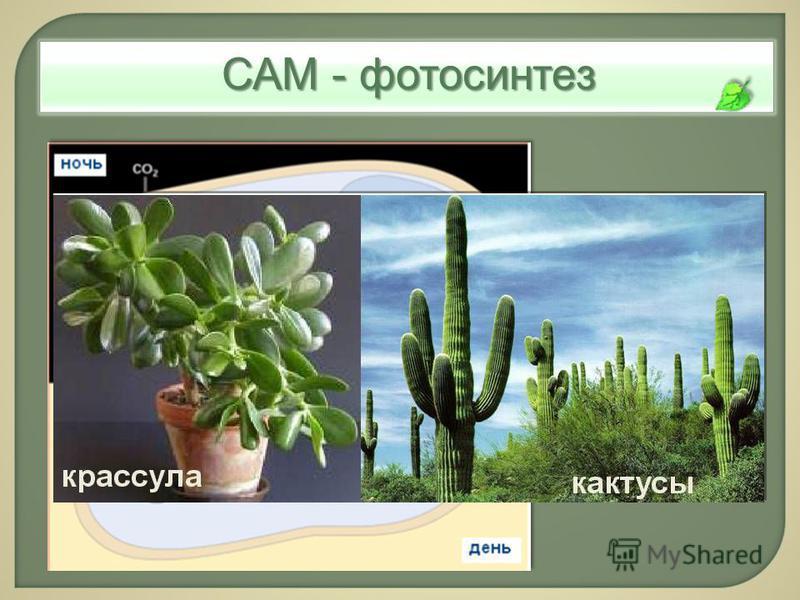 САМ - фотосинтез САМ- метаболизм: временное разделение карбоксил верования и фиксации СО 2