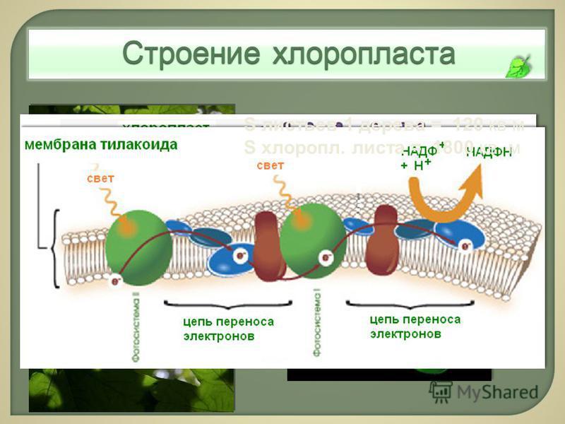 Строение клоропласта S листьев 1 дерева = 120 кв м S клоропл. листа = 1800 кв. м