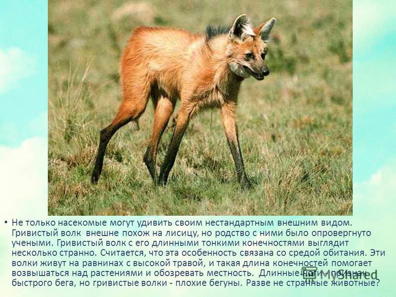 Не только насекомые могут удивить своим нестандартным внешним видом. Гривистый волк внешне похож на лисицу, но родство с ними было опровергнуто учеными. Гривистый волк с его длинными тонкими конечностями выглядит несколько странно. Считается, что эта