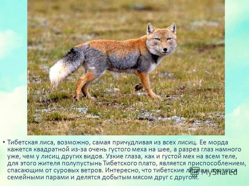 Тибетская лиса, возможно, самая причудливая из всех лисиц. Ее морда кажется квадратной из-за очень густого меха на шее, а разрез глаз намного уже, чем у лисиц других видов. Узкие глаза, как и густой мех на всем теле, для этого жителя полупустынь Тибе