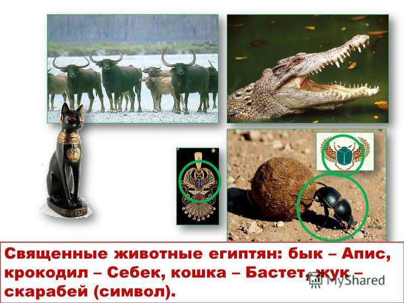 Священные животные египтян: бык – Апис, крокодил – Себек, кошка – Бастет, жук – скарабей (символ).