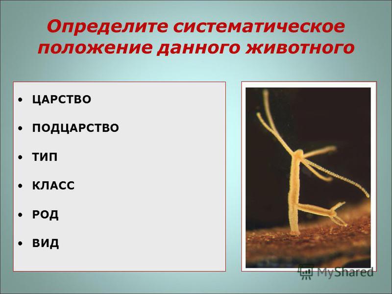 Определите систематическое положение данного животного ЦАРСТВО ПОДЦАРСТВО ТИП КЛАСС РОД ВИД