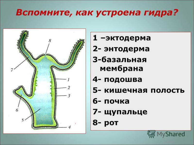 Вспомните, как устроена гидра? 1 –эктодерма 2- энтодерма 3-базальная мембрана 4- подошва 5- кишечная полость 6- почка 7- щупальце 8- рот