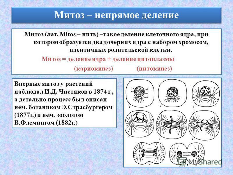 Митоз (лат. Mitos – нить) –такое деление клеточного ядра, при котором образуется два дочерних ядра с набором хромосом, идентичных родительской клетки. Митоз = деление ядра + деление цитоплазмы (кариокинез) (цитокинез) Митоз – непрямое деление Впервые