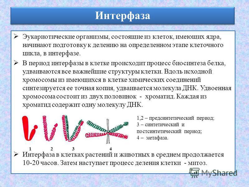Интерфаза Эукариотические организмы, состоящие из клеток, имеющих ядра, начинают подготовку к делению на определенном этапе клеточного цикла, в интерфазе. В период интерфазы в клетке происходит процесс биосинтеза белка, удваиваются все важнейшие стру