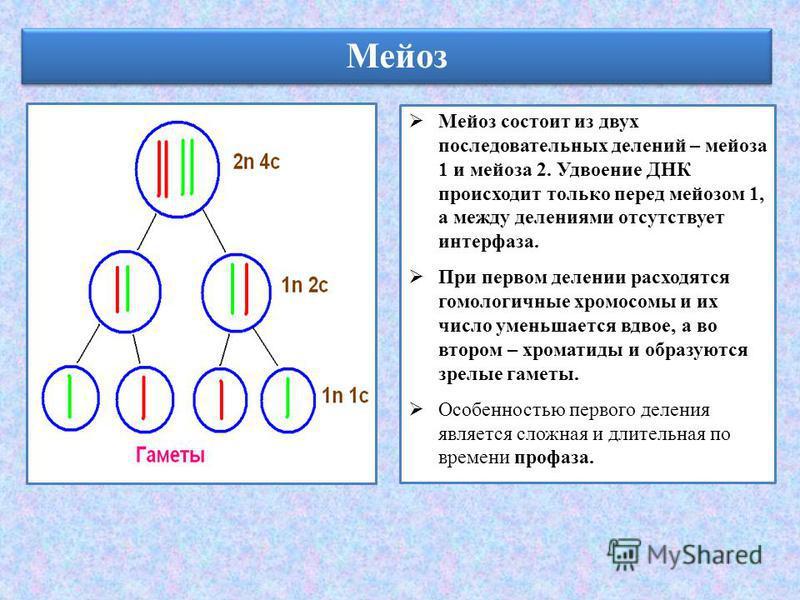 Мейоз Мейоз состоит из двух последовательных делений – мейоза 1 и мейоза 2. Удвоение ДНК происходит только перед мейозом 1, а между делениями отсутствует интерфаза. При первом делении расходятся гомологичные хромосомы и их число уменьшается вдвое, а