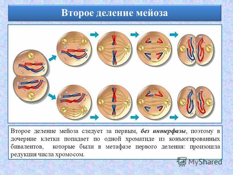 Второе деление мейоза Второе деление мейоза следует за первым, без интерфазы, поэтому в дочерние клетки попадает по одной хроматиде из конъюгированных бивалентов, которые были в метафазе первого деления: произошла редукция числа хромосом.
