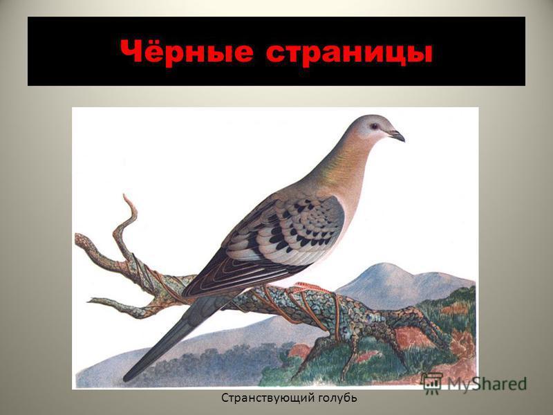 Чёрные страницы Странствующий голубь
